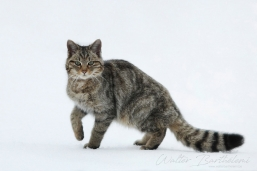 CHAT_FORESTIER_20130228_IMG_0883