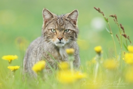 CHAT_FORESTIER_20140430_WALB8615