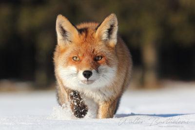 Face à face avec le renard roux (vulpes vulpes)